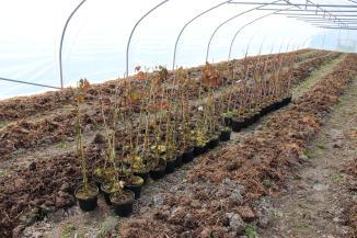 Mûriers et vignes en attente d'être plantés à l'extérieur