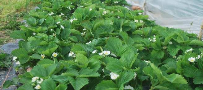 Fleurs blanches avant fruits rouges...