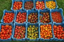 Mange des tomates, mon amour... Mange des tomates, tous les jours...!