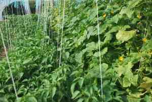 Après la jungle de tomates... celle de concombres et piments !