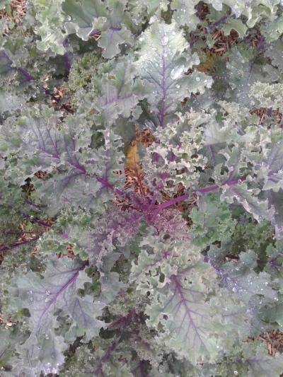 Kale rouge à consommer sans modération...